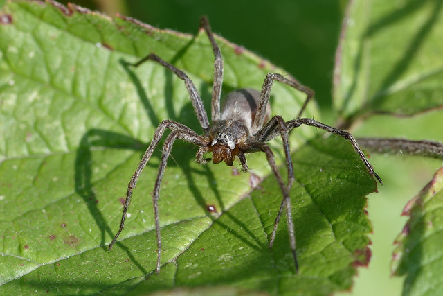 Nursery Web Spider (Pisaura mirabilis) Presentspindel