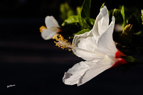 Hibiscus Blanco