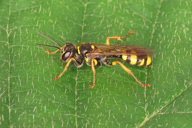 Field Digger Wasp - Mellinus arvensis