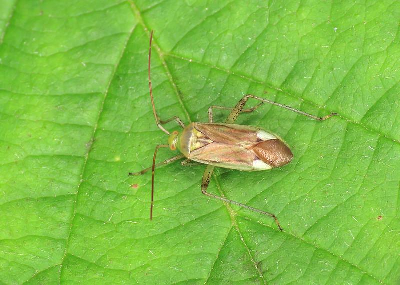 Lucerne Bug - Adelphocoris lineolatus