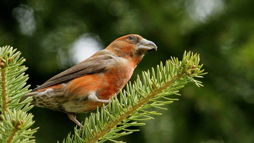 Red Crossbill M - Loxia Curvirostra