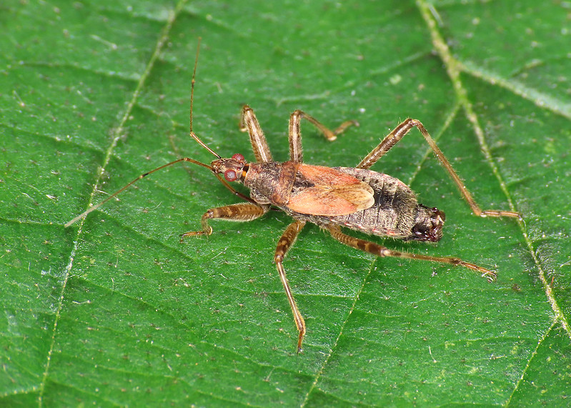 Tree Damselbug - Himacerus apterus