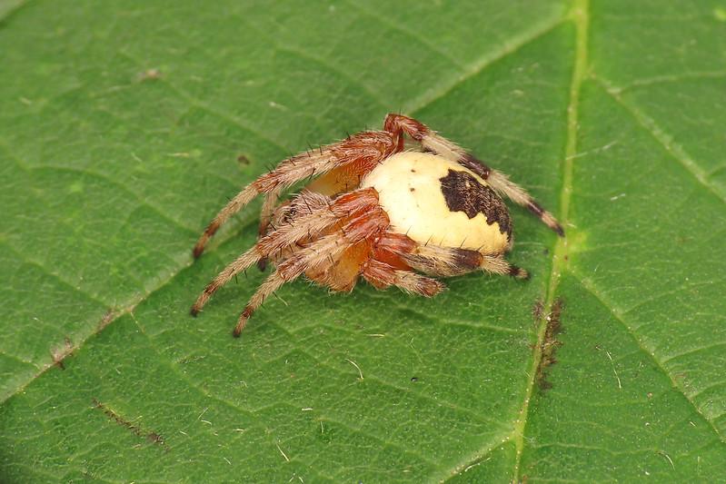 Araneus marmoreus var. pyramidatus