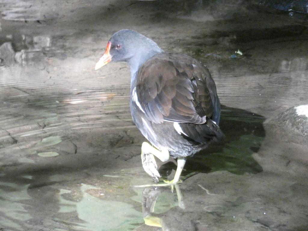 Teichhuhn (Gallinula chloropus)