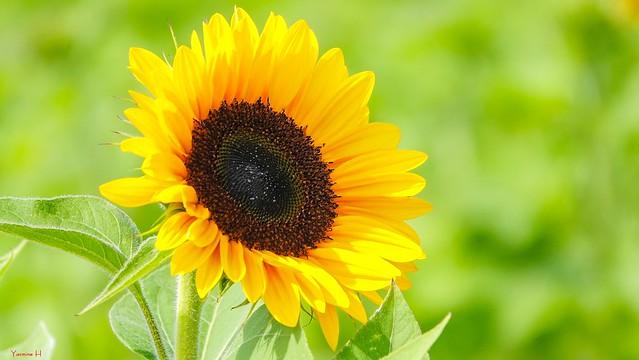 Sunflower - 7284