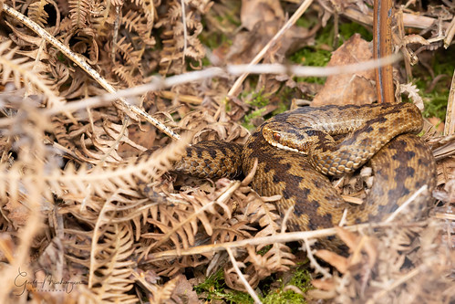 One from earlier in the year... Adder on Cannock Chase