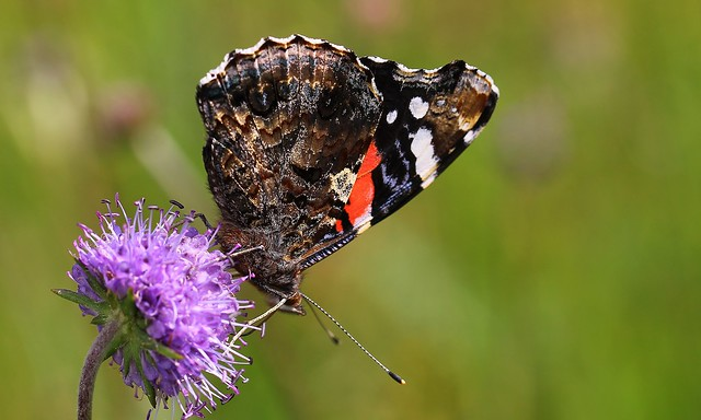 Red Admiral 170819 (2) (F)