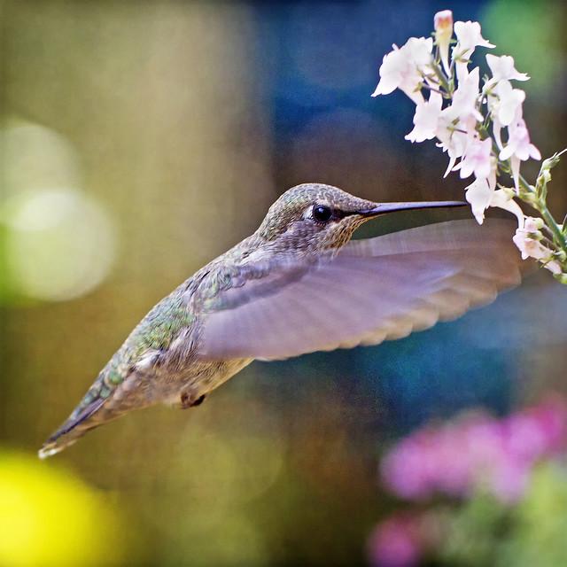 furious flutter