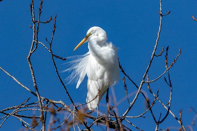 White  Heron  _ Kotuku  9250