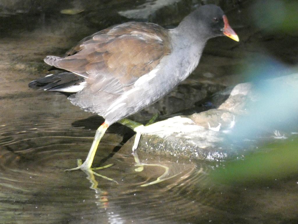 ...und tschüß - Teichhuhn (Gallinula chloropus)