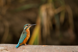 Guarda-rios - common kingfisher (Alcedo atthis)