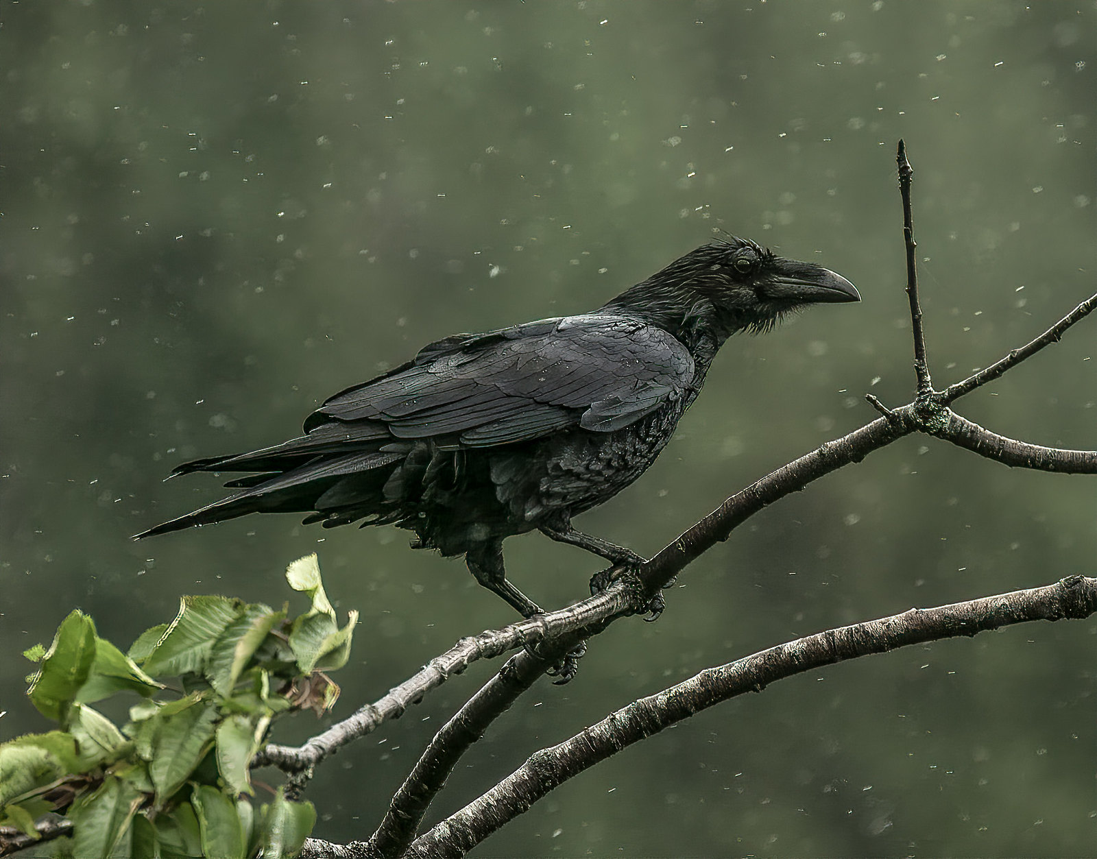 Raven- Queen Charlotte- Haida Gwaii. For those that know me, most of my pictures I take are around where I live.