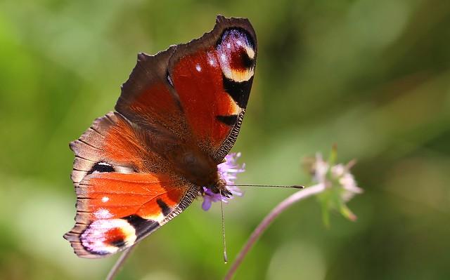 Peacock - Aglais io 170819  (3) (F)