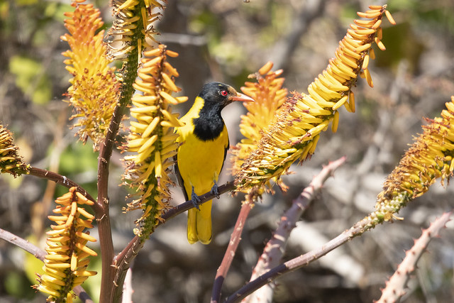 a magnificent Black-headed Oriole (Swartkopwielwaal) loiters in the aloe vera. Elephant Plains Game Lodge, Sabi Sand Game Reserve, Kruger National Park, South Africa.