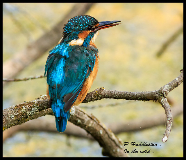 kingfisher / Female .