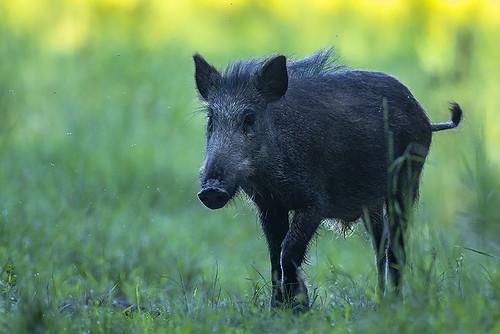 Wild boar (Sus scrofa)...