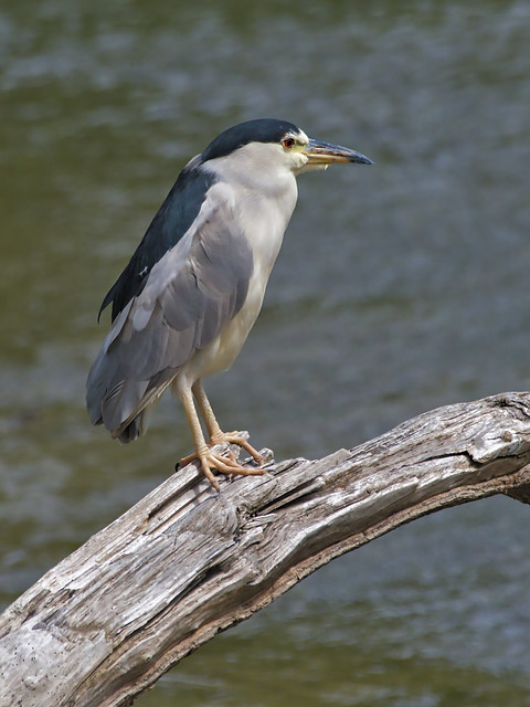 Bihoreau gris --- black-crowned night heron --- Martinete común