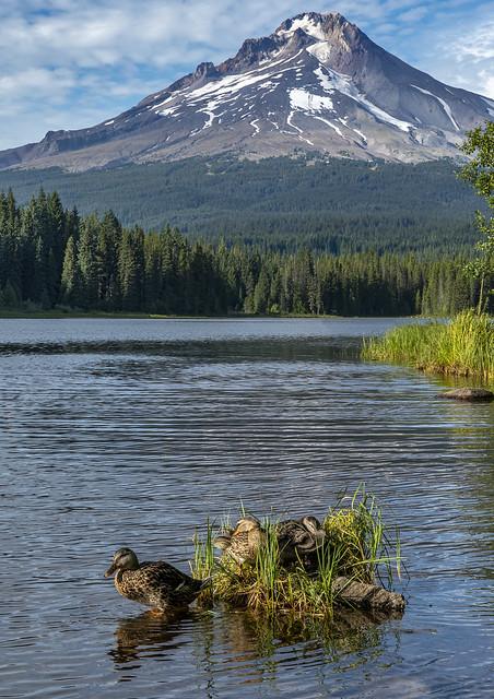 Trillium Lake Ducks