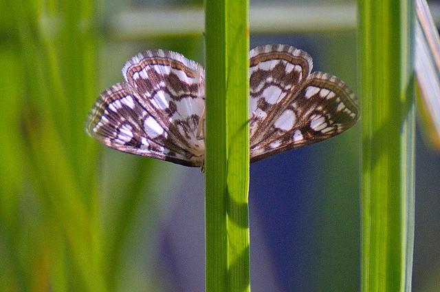 Vesiroosi-vesileedik; Elophila nymphaeata; Brown China-mark