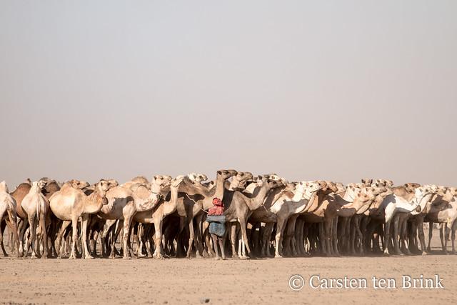 At the Kalacha waterhole: one man, many camels