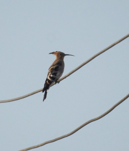 Common Hoopoe, Upupa epops, Удод