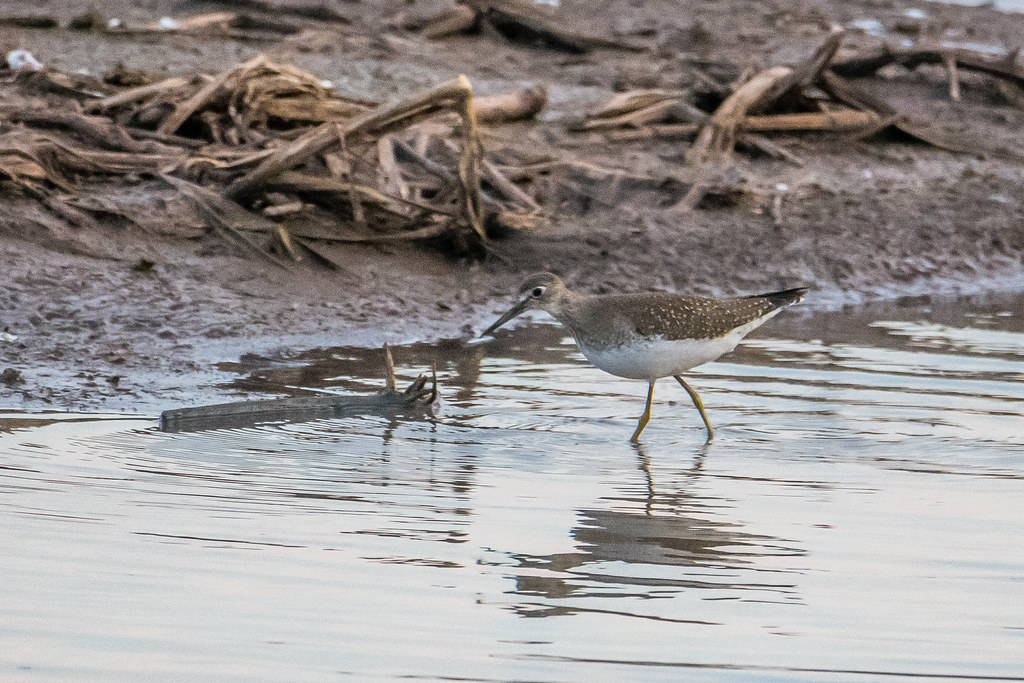 Solitary Sandpiper (3 of 3)