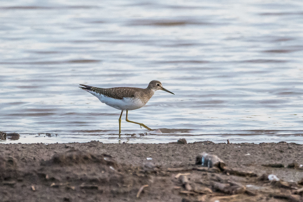 Solitary Sandpiper (1 of 3)