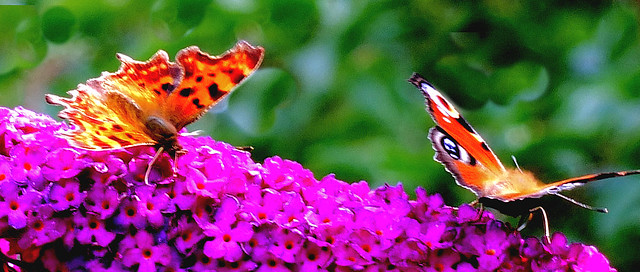 Comma and Peacock