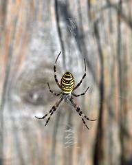 Wasp Spider!