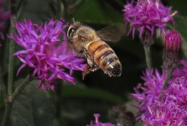 Honey Bee In Flight To Tall Ironweed Flowers IMG_3054
