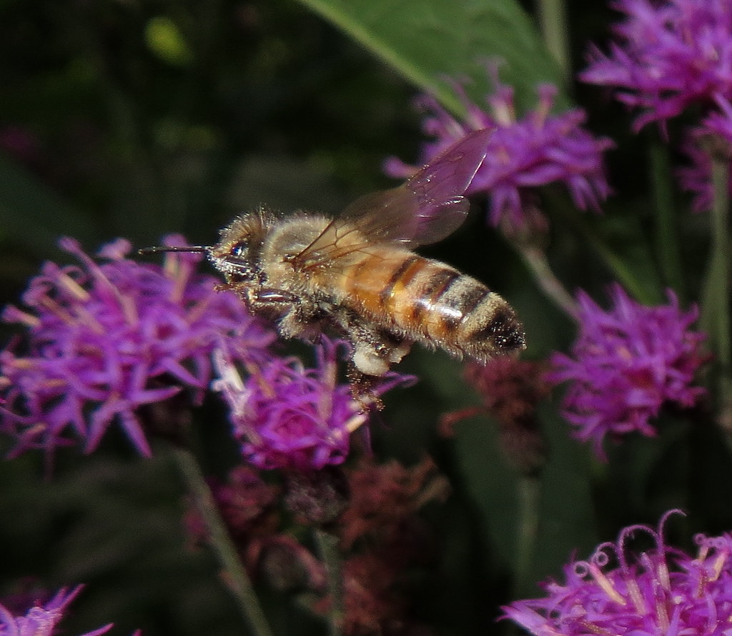 Pollen Covered Honey Bee In Flight To Tall Ironweed Flowers IMG_3167