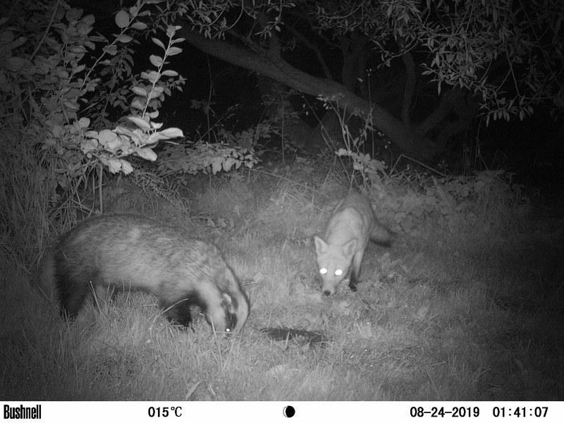 Fox & Badger 5