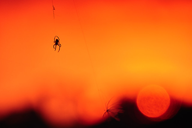 Spider enjoying the sunset