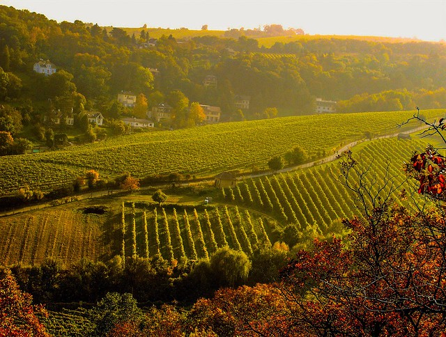 One early Autumn morning in the Vineyard when the sun makes a golden view of nature.