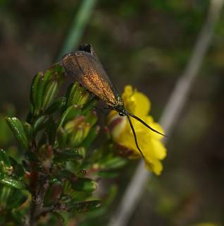 Forester Moth.