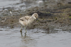 Pied Avocet chick (Recurvirostra avosetta) Kluut