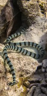 Yellow lipped sea krait highly venomous snake IMG_2503bs