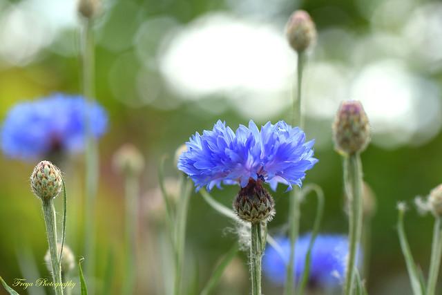Cornflower blue...