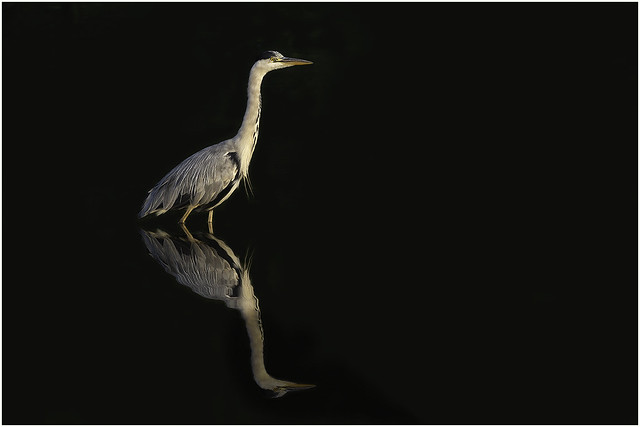 Reflections of a Grey Heron