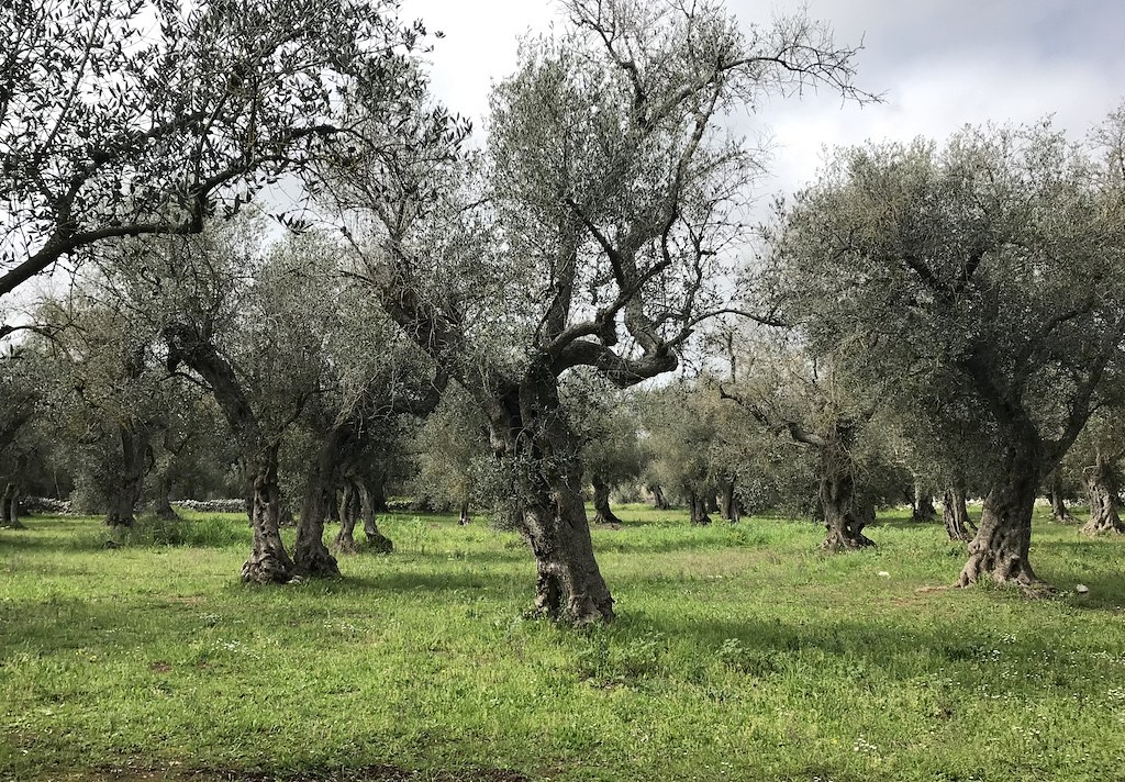 An olive tree garden