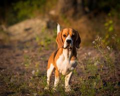 Ukko the beagle III