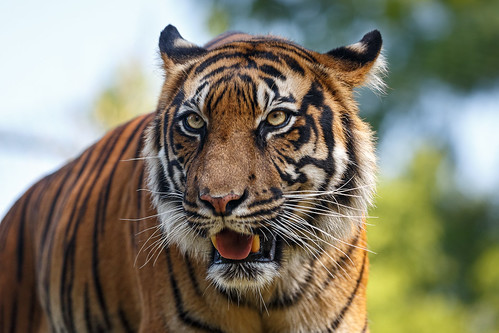 Sumatra-Tiger aus dem Naturzoo Rheine