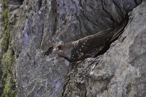 Oilbird (Steatornis caripensis), Cueva de los Tayos, Ecuador