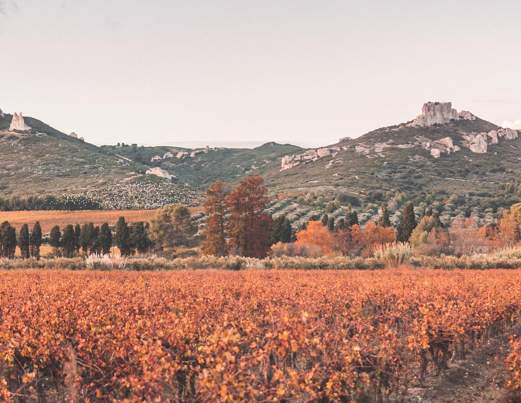 An orange scenery of grape vines