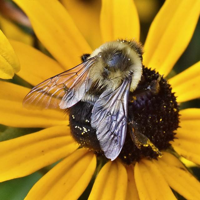 Bumblebee on black eyed Susan flower