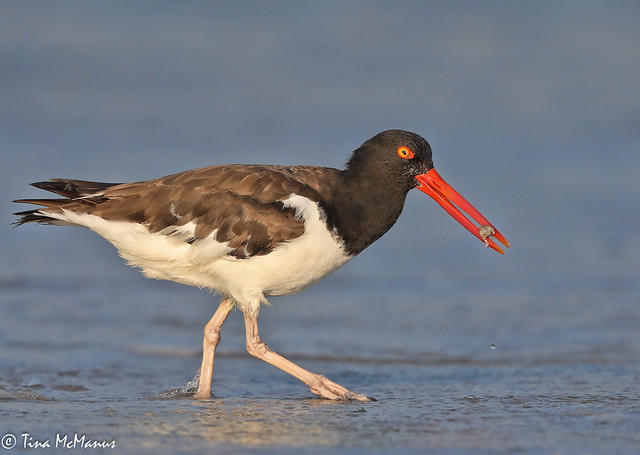 American Oystercatcher with Mole, or Sand, Crab
