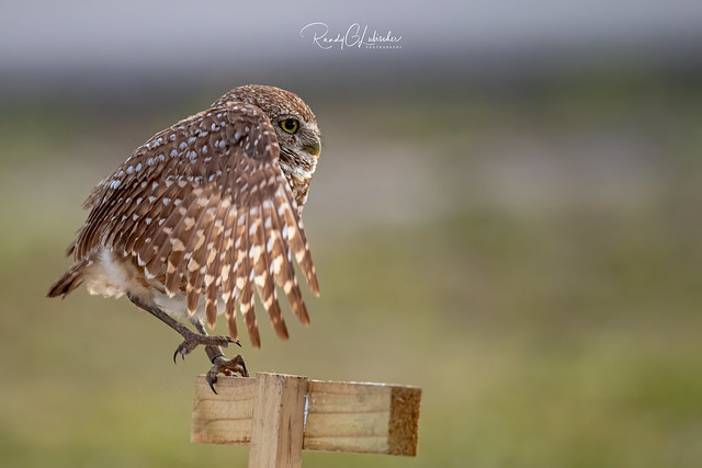Burrowing Owl - Athene cunicularia | 2019 - 23