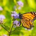 Monarch Butterfly (20190817-DSC00981)