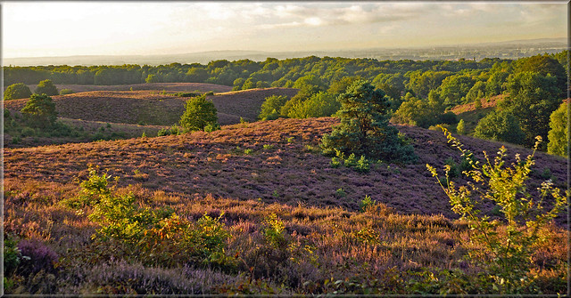 Flowering heathland after sunrise