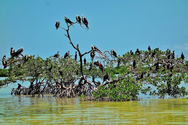 MEXICO, Yukatan, Am Golf von Mexiko,  Isla Aguada -Laguna Terminos, Vogelparadies, Alle Vögel sind schon da.. serie, 19230